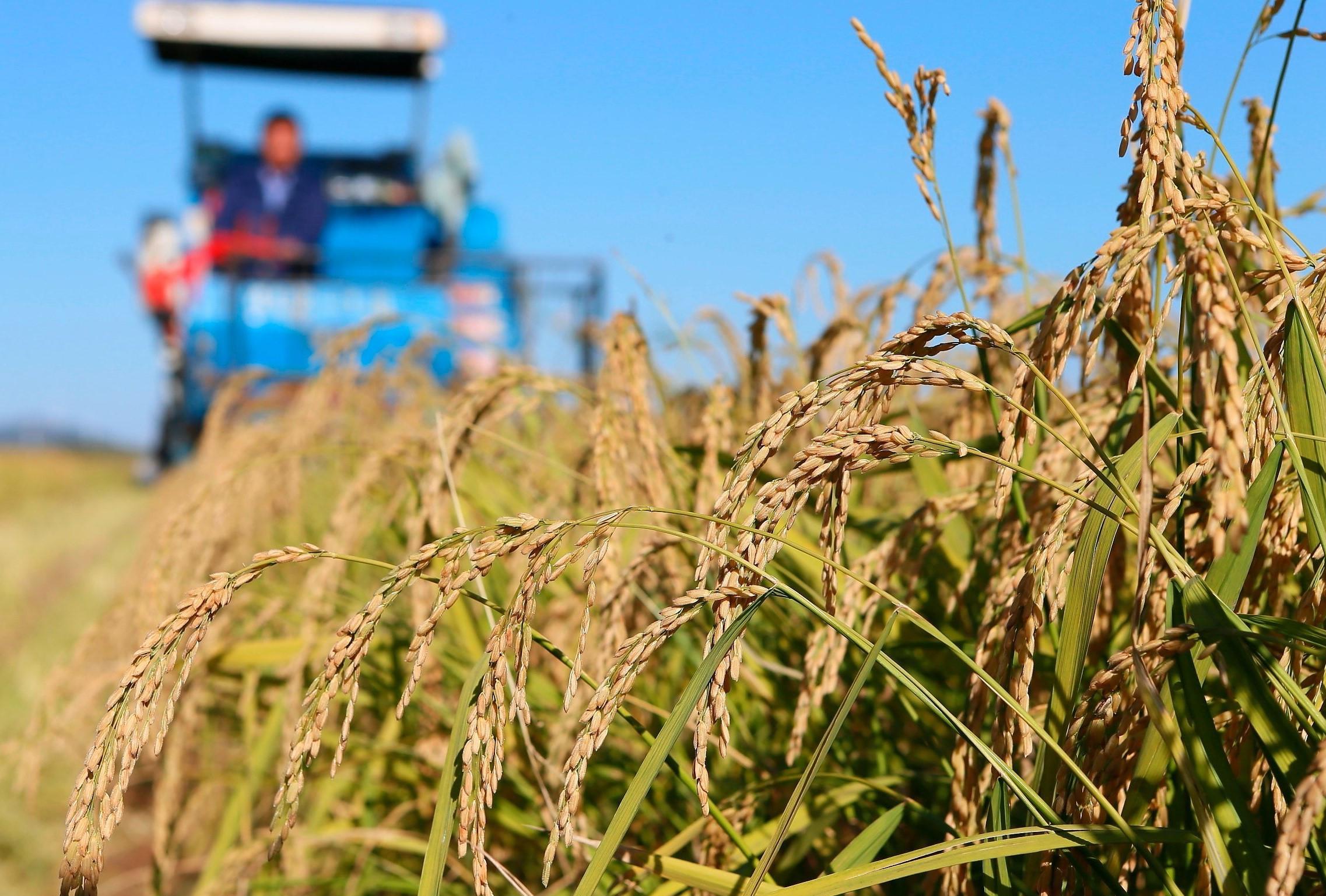 """""""海水稻""""不在海水里长:瞄准沿海滩涂和内陆盐碱地"""