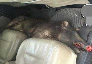 高速驾车撞死野猪 车主撒泼要求带走野猪作为赔偿
