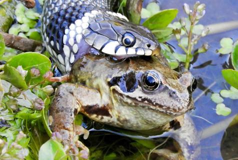 英国草蛇一口吞下青蛙 速度之快猎物瞬间下肚