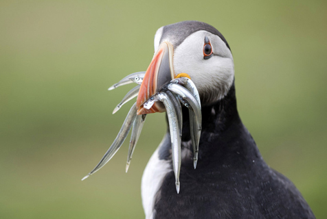吃货没跑了!摄影师拍海鹦鹉嘴里塞满鱼萌照