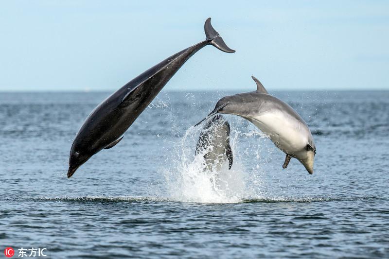 """精美绝伦!苏格兰海豚母子演绎惊艳""""三人舞"""""""