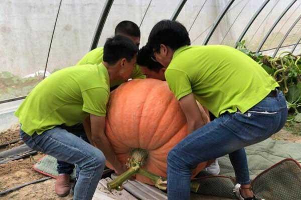 巨型南瓜引游人关注 重234斤4名壮汉才能抬起