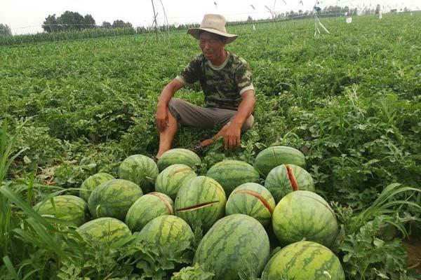 2万多斤西瓜一夜间全被砍烂 瓜农伤心落泪