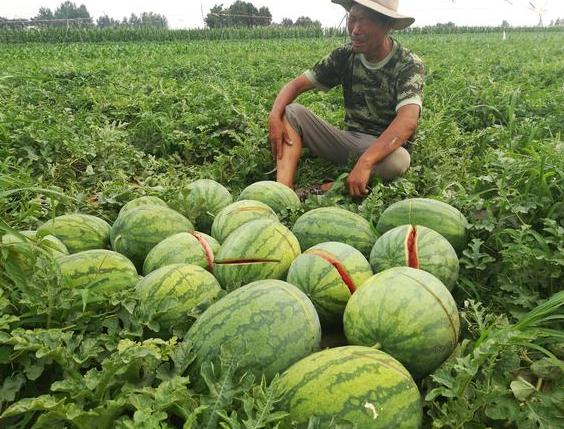 可恶!2万斤西瓜被砍烂 瓜农:全家希望破灭