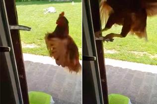惊呆!意大利高智商母鸡自己开门找食