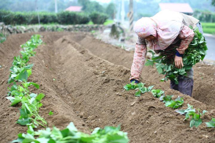大学生返乡带领村民种地瓜:全村整体实现了脱贫