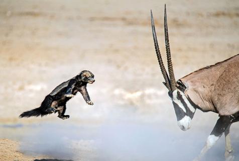 """非洲小蜜獾""""单挑""""大羚羊 被撞飞也不投降"""