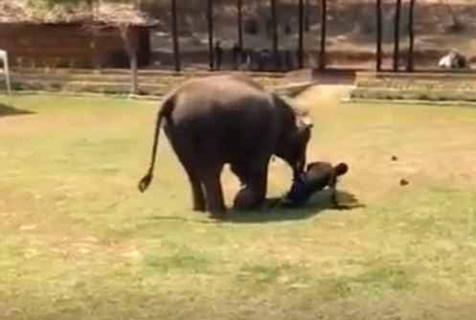 """有爱!泰国一大象""""危急时刻""""挺身保护饲养员"""
