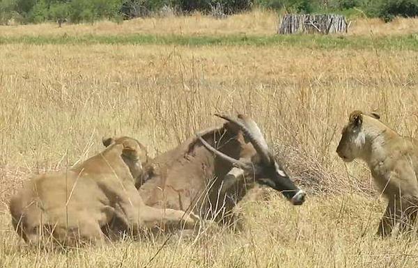 受伤羚羊遭两母狮围攻 死拼到底却难逃一劫