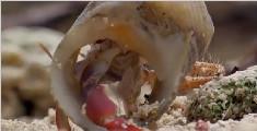 寄居蟹换壳的神奇操作