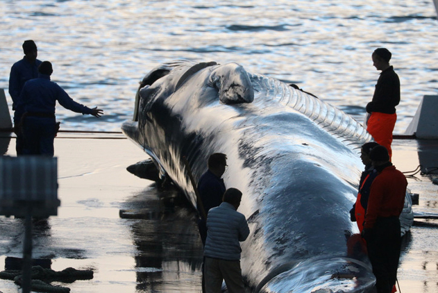无视众怒!冰岛公司再扬帆 20米长须鲸遭屠杀