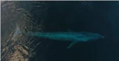 纯净的美:无人机拍下蓝鲸与海豚嬉戏画面