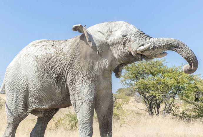 纳米比亚象群周身喷白泥防晒又美白