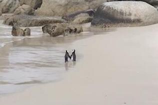 """执子之""""鳍""""!南非企鹅爱侣漫步沙滩羡煞网友"""