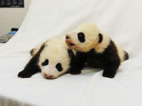 熊猫出生100天间的变化