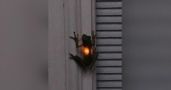 神奇!青蛙吞下萤火虫后胃部闪闪发光