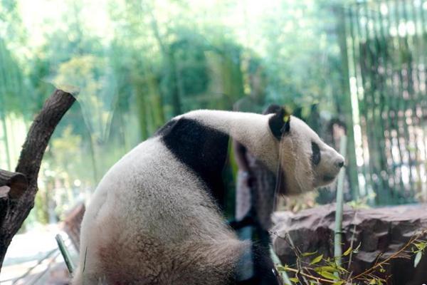 """大熊猫来德一周年 """"国际大明星""""的幸福小生活"""