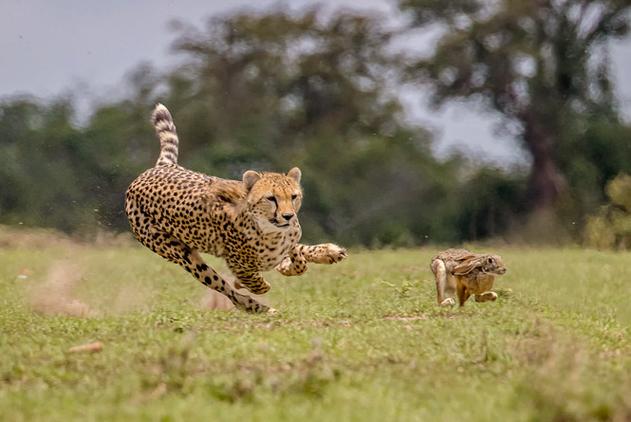 摄影师拍非洲猎豹捕食野兔 行动迅速快如闪电