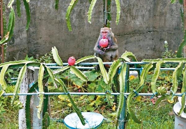 台湾岛内火龙果产销摇摇欲坠 果农弃收让猴子吃到饱