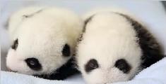 熊猫从出生到100天间的变化 心都被萌化了