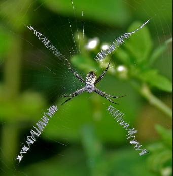 科学家发现蜘蛛可以利用地球感应电场飞行