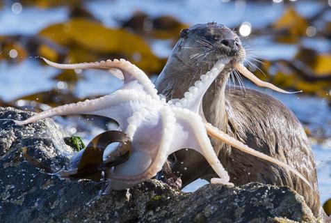 英国小水獭吃章鱼 被触角纠缠瞬间懵住