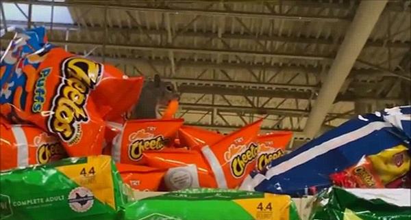 零食的诱惑!美松鼠闯超市偷拿薯片欢乐多
