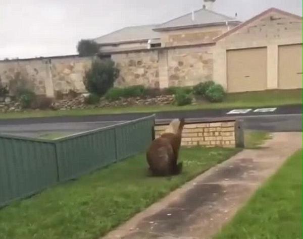 """""""豹躁""""!澳海豹晒日光浴被打扰狂追路人"""