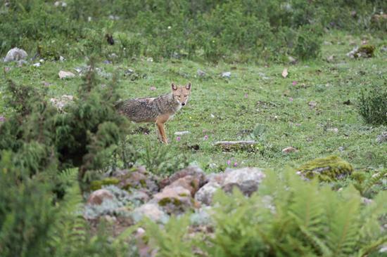 喜马拉雅南麓首次发现亚洲胡狼 与狼同属体型似豺