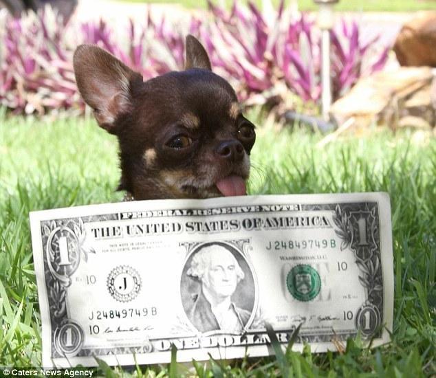 这只吉娃娃犬是世界最小的狗,它已被克隆了49次