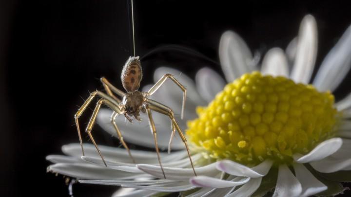 """没翅膀的蜘蛛能""""飞""""数百公里,研究称靠地球电场"""