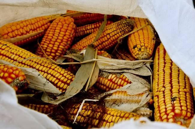 科研玉米被偷摘损失或达上千万 半亩玉米被偷