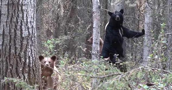 加猎人偷拍母熊时遇伏击 惊恐尖叫慌忙逃脱
