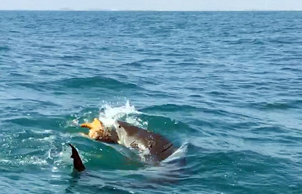 虎鲨凶残捕食海龟一幕被拍 惊呆一船游客
