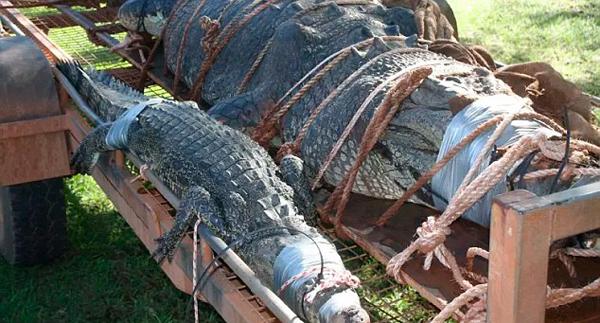 护河员追踪10年捕获巨鳄 体长4.7米堪比轿车