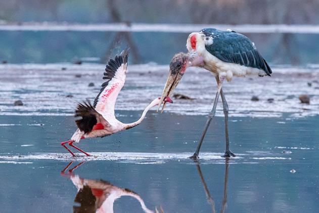 肯尼亚小火烈鸟不惧捕食者鹳勇敢抵抗保住性命