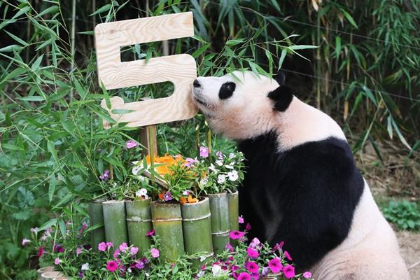 """旅韩大熊猫""""爱宝""""5岁啦 获赠三层大蛋糕开心不已"""
