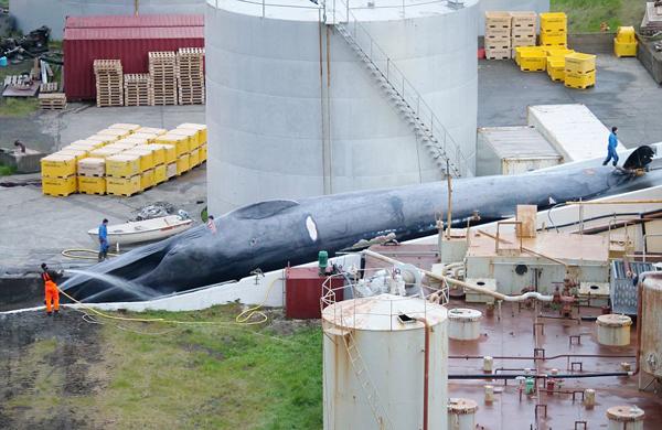 冰岛捕鲸人捕杀稀有冻货品牌代理商招聘蓝鲸 肢解后将销往日本
