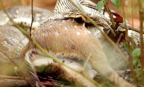 印度摄影师捕捉到岩蟒反刍斑点鹿 画面罕见