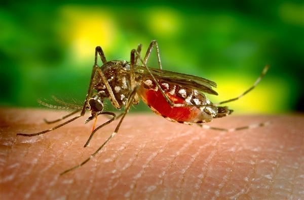 科学家发现实用新方法:能消灭传播疾病的蚊子