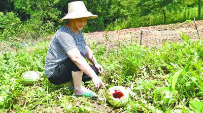 3万斤西瓜被它拱了一半 村民两难:防不住又打不得