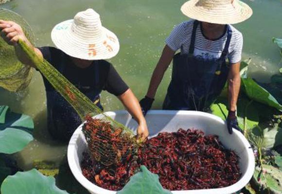 中国人一年吃2000多亿元小龙虾!揭秘养殖场