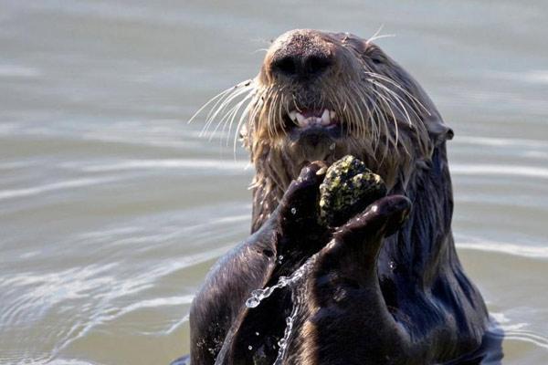 加州海獭玩抛石头 沉浸其中不亦乐乎