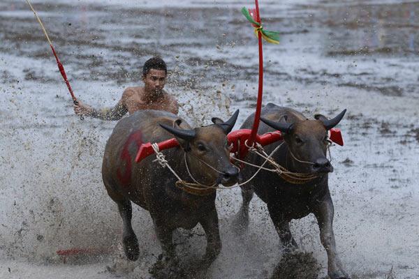 泰国举行年度赛牛节 农民驾牛驰骋泥水飞溅