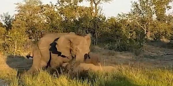 南非雄象攻击濒危犀牛 路人大喊助犀牛脱身