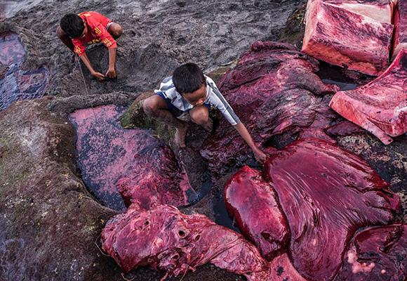 残忍!印尼小岛渔民以捕鲸为生 鲜血染红海水