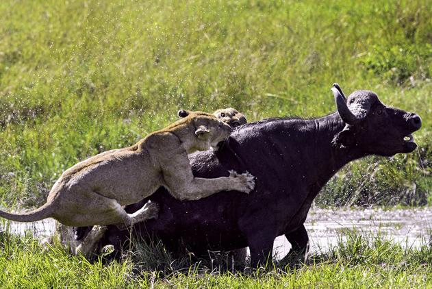 坦桑尼亚水牛遭母狮围攻 孤立无援惨成盘中餐