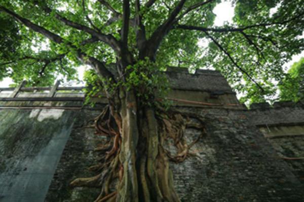 榕树撑破清代古城墙 根系发达如瀑布倾泻而下