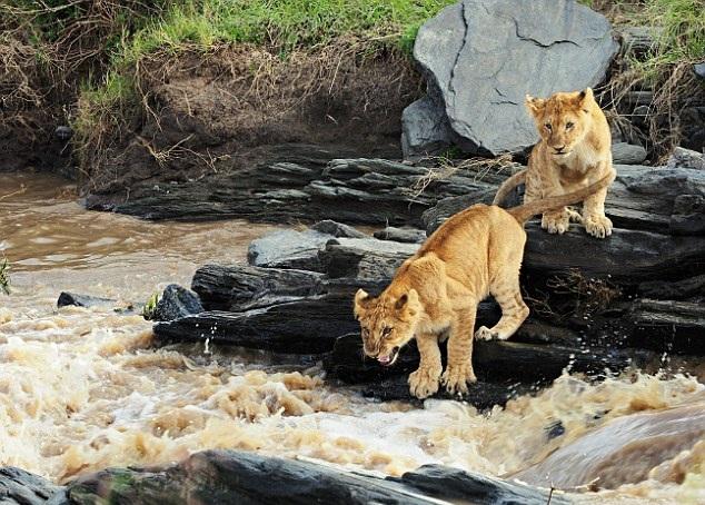 肯尼亚幼狮跳跃过河时不慎落水 勇敢自救终上岸