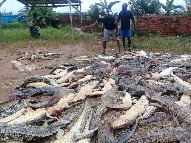 """印尼一男子掉入""""鳄鱼窝""""丧命 亲属怒杀292只鳄鱼"""